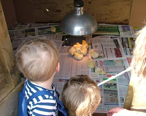 newly hatched chicks ay higher lank farm holiday accommodation for families with young children