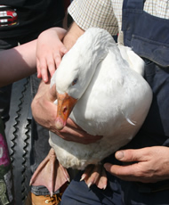 friendly goose at higher lank farm holidays, bodmin