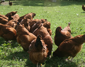 hens and poultry at higher lank farm holidays, bodmin