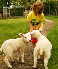 feeding lambs at higher lank farm holidays in cornwall