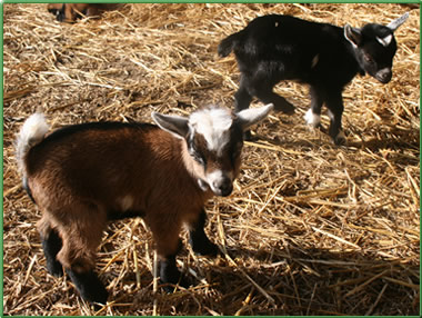 help us to bottle feed ruby the baby goat at higher lank farm