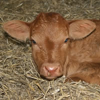calf children and twin friendly farm holidays cornwall