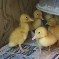 ducklings family friendly holidays cornwall uk