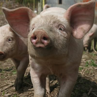 piglet family friendly farm holidays cornwall